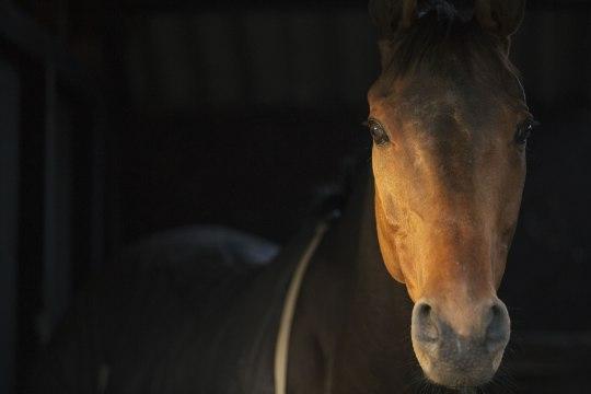 Taani hobuseomanike seas levib trend surnud lemmikud loomaaiale annetada