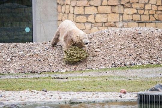 Смотри, в Таллинском зоопарке отметили дни рождения трех белых мишек