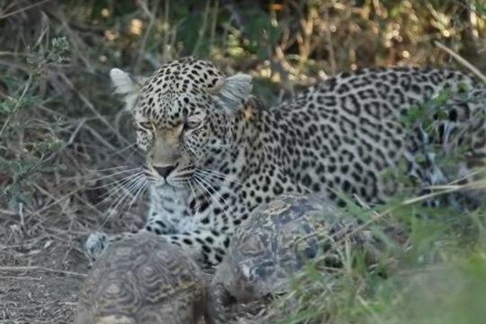 ВИДЕО: влюбленные черепахи помешали леопарду охотиться