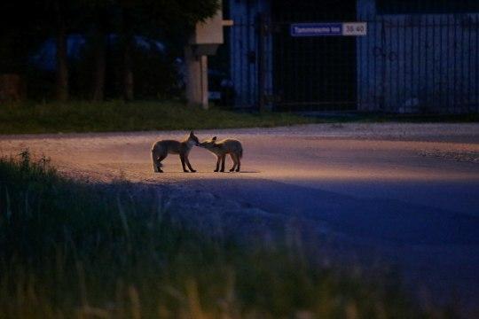 GALERII JA VIDEO | Kui tänav õhtul vaikseks jääb, ilmuvad välja meie nähtamatud naabrid