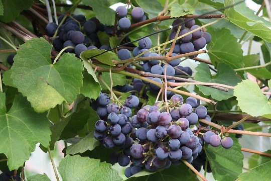 PILDID JA VIDEO | Hundisilmal tähistati taasiseseisvumist Eesti hapude viinamarjadega