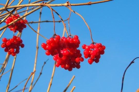 Lodjapuu marjad vabastavad needusest ja toovad armastuse (+ retsept!)