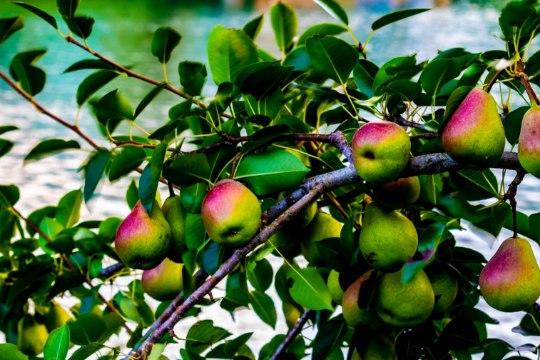 AED | Sügis viljapuuaias – need tööd aitavad puudel kergemini talvituda ning rohkem saaki anda