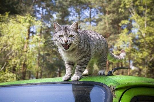 Miks kassid autoga sõitmist ei armasta ning kuidas neid rahustada?