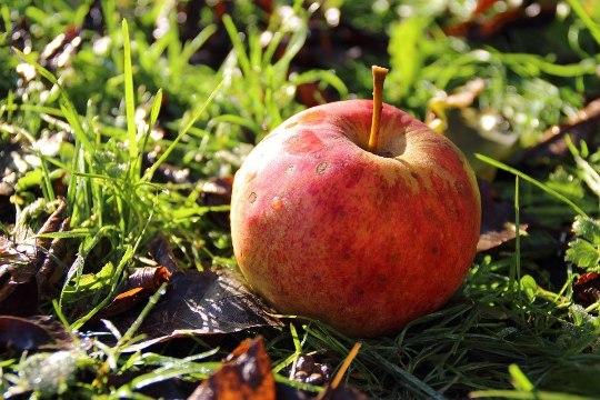 Raagus puude all on viimased õunad. Mida nendega ette võtta?