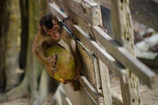 Обезьяна убила старушку кокосом