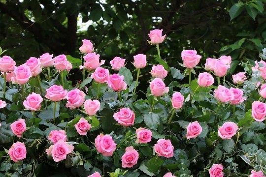 Roosid aeda! Mida peaks teadma?