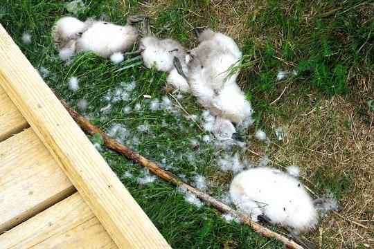 Шокирующие фото: в заповеднике Пальяссааре найдены жестоко убитые лебедята