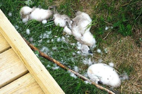 Ветеринар: шестерых лебедят на Пальяссааре убил не человек