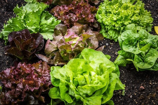 Lihtsad nipid, kuidas lehtsalatit paremini säilitada
