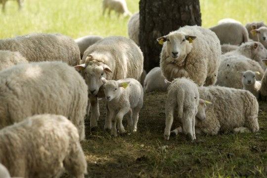 Perenaine kaotas kahe nädalaga pooled lambad