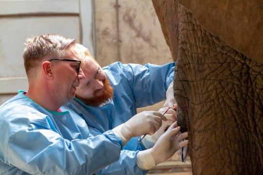 FOTOD | Tallinna loomaaia elevant Carli opereerimisel osales üle 60 inimese