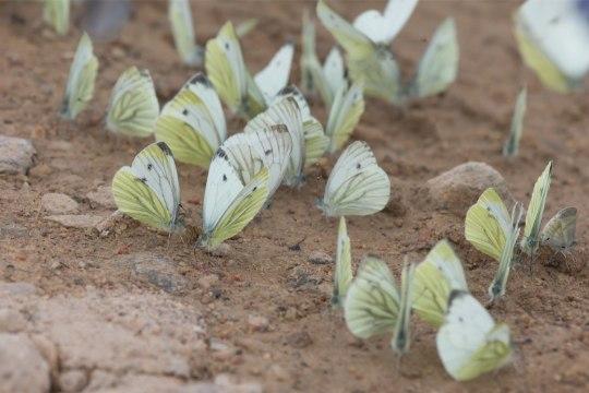 FOTOD | Sajad liblikad on vallutanud Kagu-Eesti hernepõllu