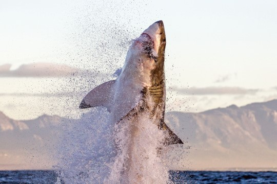 ŠOKEERIV TÕESTUS: vaata, miks pole vaja haikala käest sööta