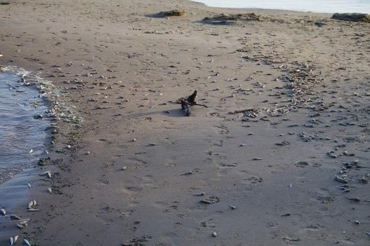 FOTOD | Peipsi kaldal vedeleb kilomeetrite viisi roiskuvaid kalu