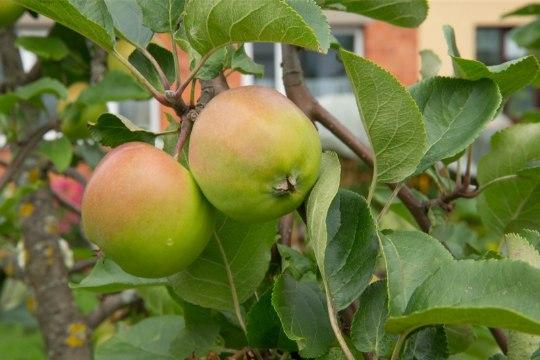 VÄHEMALT ÜKS UBIN PÄEVAS! Õun vähendab nende haiguste riski