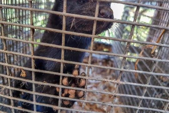 VIDEO   Läti karusloomafarmi töötaja avalikustas õõvastavad kaadrid tingimustest farmis