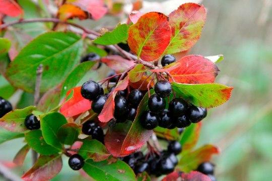 Must aroonia - tõeline vitamiiniallikas