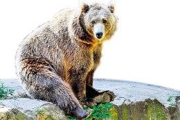 ÕL ARHIIV | Aegviidu karu: mina Kirsipuid ei söö, Bolti küll!