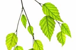 Valusad liigesed - kuid millised taimed aitavad?