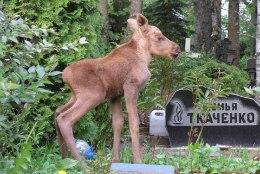 Iguaan õunapuu otsas, hobune soos ja põdravasikas kalmistul – Eesti päästjad on pidanud aitama ka neljajalgseid!