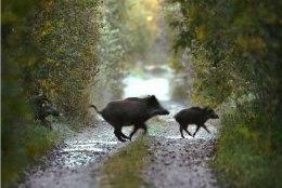 Jahindusteadlane: Eesti metsades võib olla arvatust palju rohkem nakatunud metssigu