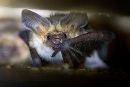 Mis seob halloweeni ja nahkhiiri?