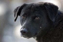 Politseinikudtapsid Raplamaal kaks kariloomi rünnanud koera