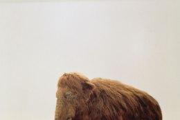 Harvardi teadlased teevad mammuvanti: laboris sünnib elevandi ja väljasurnud mammuti hübriid