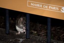 Pariisi linnavõimud kuulutasid rottidele sõja
