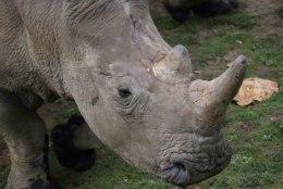 Prantsusmaa loomaaias salakütiti ninasarvik