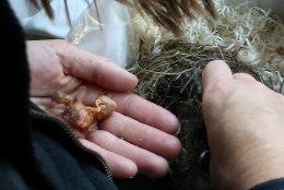 FOTOD JA VIDEOD SÜNDMUSKOHALT | Haabneemes langetati kuusehekki hoolimata udusulis linnupoegadest