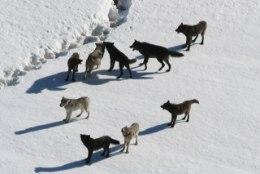 Läänemaal hulgub ringi 11-pealine hundikari, jahimehe sõnul on olukord kontrolli alt väljumas