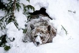 Esimesed karud ärkasid talveunest! 10 soovitust, mida teha, kui kohtad karu