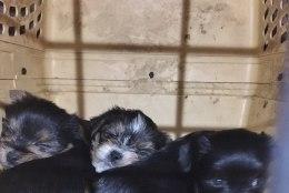 VIDEO | KOHUTAV VAATEPILT! Loomakaitse liit avastas viimaste aastate suurima kutsikatehase, päästa on vaja ligi 40 koera