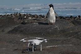 Satelliitfotode abil avastati pingviinide superkoloonia