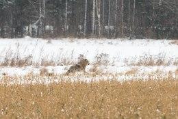 Ulukispetsialist: Eesti hunt ei ole näljas ega kipu inimese kallale