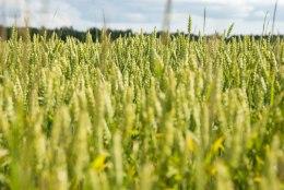 VIDEO | Setomaa vald kaalub kõigi põllumaade mahedaks muutmist