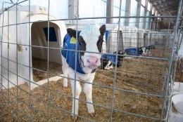 Inimestel on külmapühad, lehmad vilistavad pakase peale!