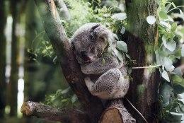 TRAGÖÖDIA: Austraalia metsapõlengutes on hukkunud sadu koaalasid