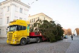 FOTOD | 18 meetrit jõulurõõmu: Tartu Raeplatsile jõudis maaülikooli kuusepuine kingitus