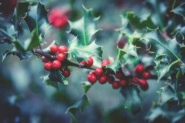 Igihaljas iileks – armastatud taim, mis loob jõulumeeleolu