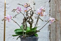 Salapärane orhidee: pirtsutajatest leplike õitsejateni