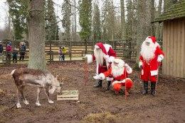 GALERII   Jõuluvanad jagasid Elistvere loomapargis kinke, tähistati ka karu Karoliina sünnipäeva