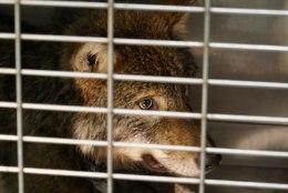 FOTOD | PÄÄSTJAD ARVASID, ET AITAVAD KOERA: jäisesse vette uppunud hunt toodi elule tagasi