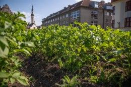 FOTOD   Tallinna vanalinna südamesse istutatud kartulitaimed kasvavad jõudsalt