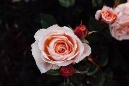 Roosid koduaias: mida peaksid teadma enne lillede kuninganna soetamist?