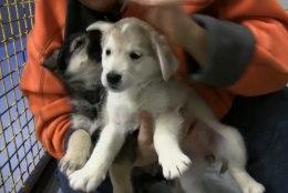ÕL VIDEO | PÄÄSTETUD! Vastsündinuna julmalt ära visatud koerakutsikad sibavad nüüd rõõmsalt ringi ja ootavad uusi kodusid