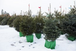 Mis saab potikuusest peale jõule? Iga puu koduõuel kasvama ei lähe