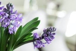 Ajata lihavõteteks hüatsinte, mis toa kevadiselt lõhnama panevad